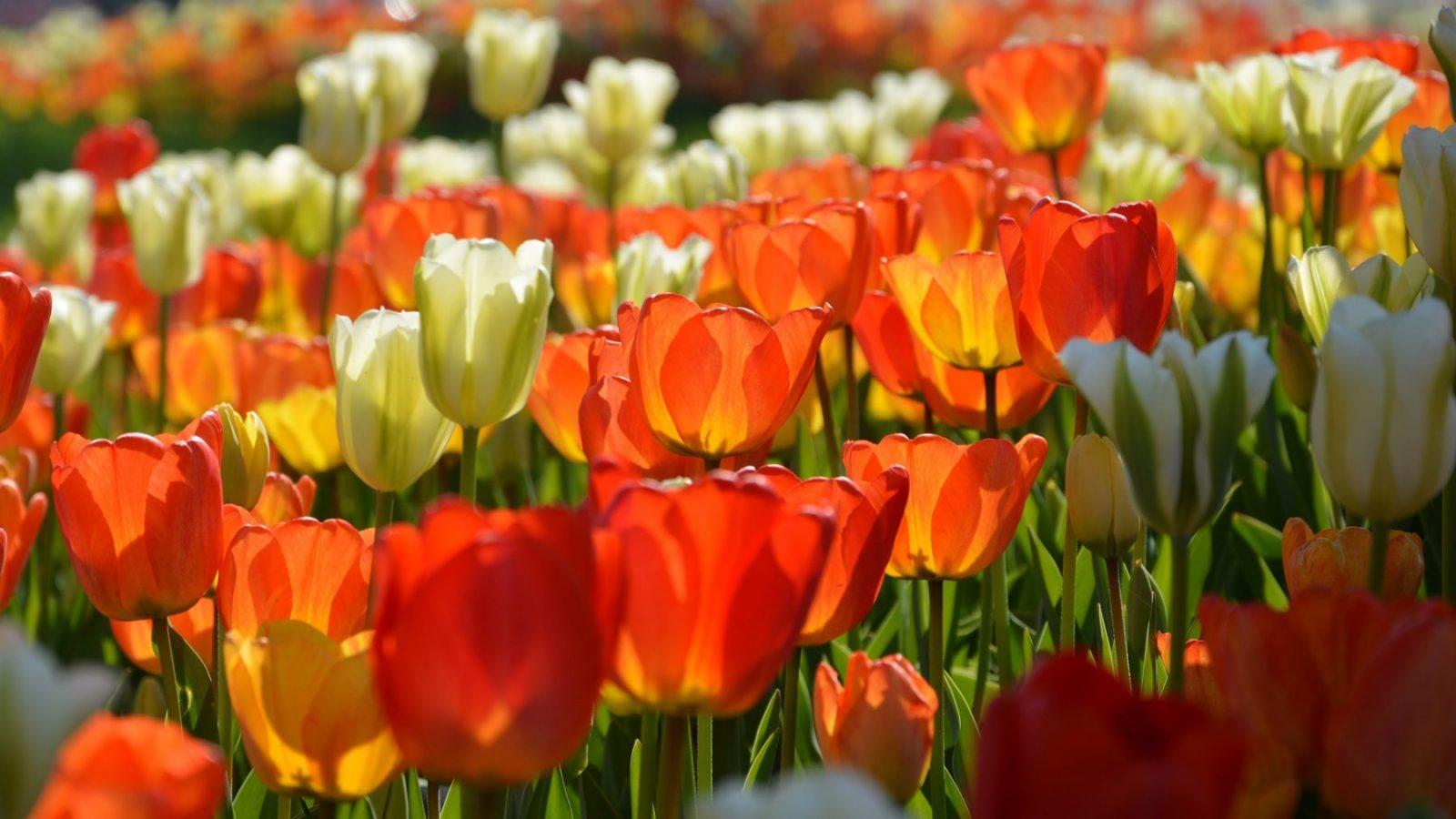 24 en 25 maart Tulpen plukken